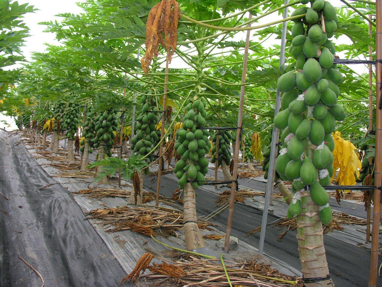 پاپایا خربزه درختی میوه ی گرمسیری پاپایا(خربزه درختی) گنجی پنهان میوه ی گرمسیری پاپایا(خربزه درختی) گنجی پنهان papaya 2001